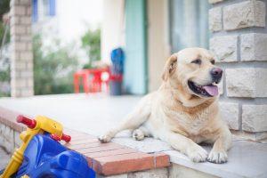 Labrador pris en photo lors d'une séance photos famille dans le sud de la France